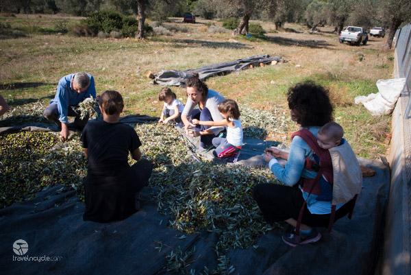 Olive Picking