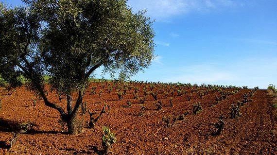 Vineyard at Marathonas region
